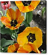 Tulips Tp Acrylic Print