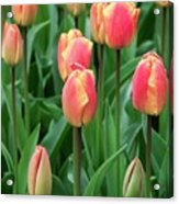 Tulips (tulipa 'oxford Elite') Acrylic Print
