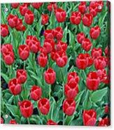 Tulips Tulips And Tulips Acrylic Print