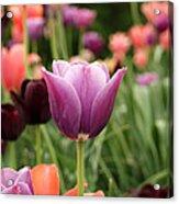 Tulips Welcome Spring Acrylic Print