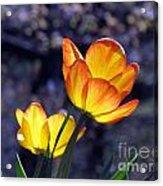 Tulips With Purple Bokeh Acrylic Print