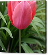 Tuliptime Acrylic Print