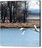 Tundra Swan Flight Acrylic Print