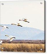 Tundra Swans In Flight Acrylic Print