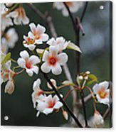 Tung Oil Blossoms Acrylic Print