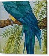 Turk Macaw Acrylic Print