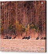 8964 - Turkey - Eastern Wild Turkey Acrylic Print