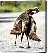 Turkey Fight Acrylic Print