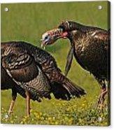 Turkey Gobble Acrylic Print