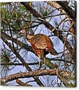 Turkey In A Tree Acrylic Print by Al Powell Photography USA