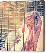 Turkey In The Cage Acrylic Print