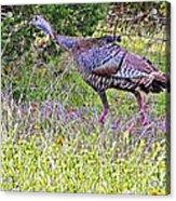 Turkey In The Draw Acrylic Print