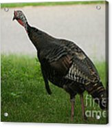 Turkey Trot Acrylic Print