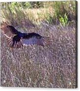 Turkey Vulture 2 Acrylic Print