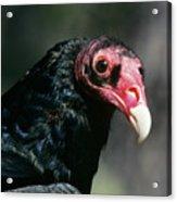 Turkey Vulture Cathartes Aura South Acrylic Print