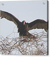 Turkey Vulture Acrylic Print