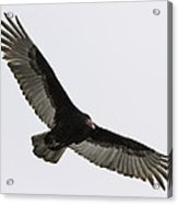 Turkey Vulture In Flight Acrylic Print by Thomas Young