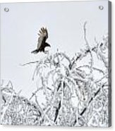 Turkey Vulture In The Snow Acrylic Print
