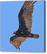 Turkey Vulture Soaring Overhead Drb153 Acrylic Print