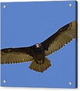 Turkey Vulture Soaring Overhead Acrylic Print