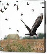 Turkey Vulture Takes Flight Acrylic Print