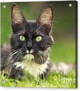 Turkish Angora Cat Acrylic Print