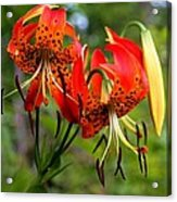 Turkish Cap Lily  Acrylic Print