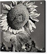 Turkish Sunflower 3 Acrylic Print