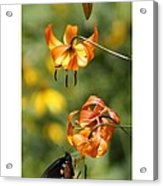 Turks Cap Lilies And Butterfly Acrylic Print
