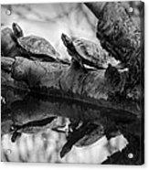 Turtle Bffs Bw By Denise Dube Acrylic Print