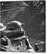 Turtle Bw Acrylic Print by Nelson Watkins