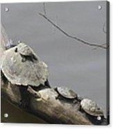 Turtle Clan Acrylic Print