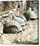 Turtle Desert Acrylic Print