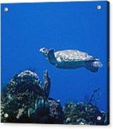 Turtle Flying Underwater Acrylic Print