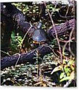 Turtle In The Glades Acrylic Print