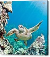 Turtle In Tropical Ocean Acrylic Print