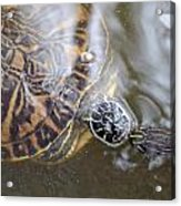 Turtle Kiss Acrylic Print by Julie Cameron