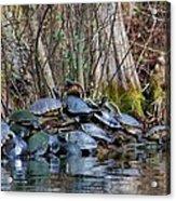 Turtle Landing Acrylic Print