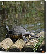 Turtle On A Raft Acrylic Print