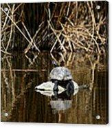 Turtle On Turtle Acrylic Print by Ernie Echols