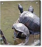 Turtle Trio Acrylic Print