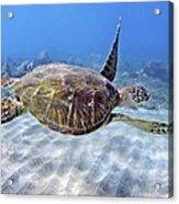 Turtle Underwater 3 Acrylic Print