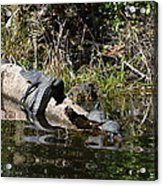 Turtles And Gator Acrylic Print