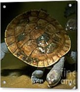Turtles Float Acrylic Print