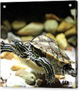 Turtles In The Water Acrylic Print