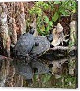 Turtles  Acrylic Print by Julie Cameron