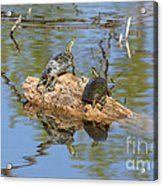 Turtles On Stump Acrylic Print