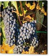Tuscan Vineyard Acrylic Print by Brian Jannsen