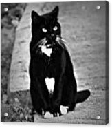 Tuxedo Cat Acrylic Print