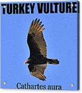 Turkey Vulture Educational Acrylic Print